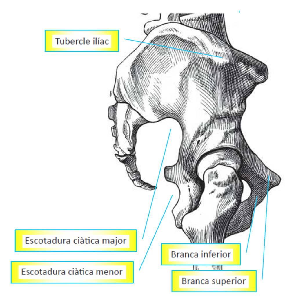 ANATOMÍA DE LA CINTURA PÉLVICA Fisioterapia Osteopatía Barcelona ...
